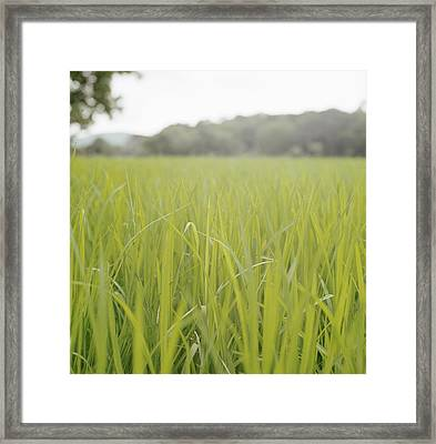 Close Up Of Tall Blades Of Grass Framed Print by Laurie Castelli
