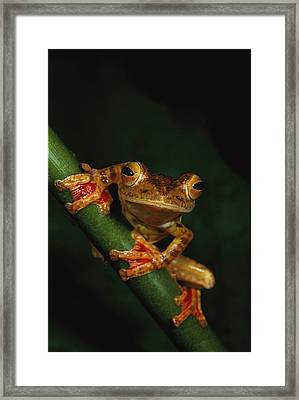 Close View Of A Harlequin Tree Frog Framed Print by Tim Laman