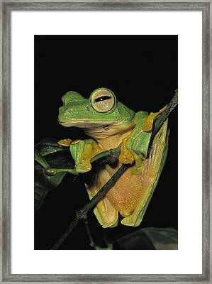 Close View Of A Wallaces Flying Frog Framed Print by Tim Laman