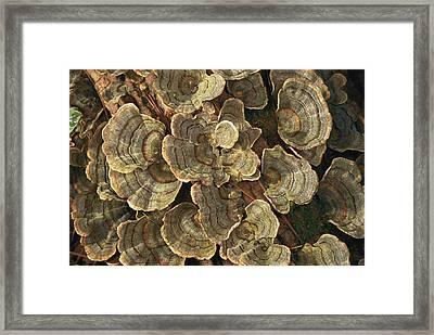Close View Of Turkey-tail Fungi Framed Print by Darlyne A. Murawski