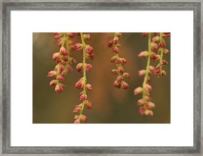 Closeup Of Pollen Tendrils Hanging Framed Print by Phil Schermeister