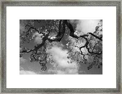 Cloudy Oak Framed Print by Laurie Search