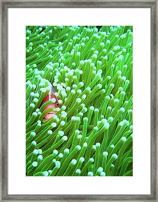 Clown Fish Framed Print by Perry L Aragon