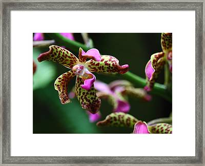 Clown Orchid Framed Print by Paul Slebodnick