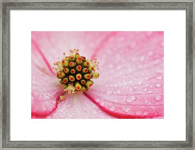 Cluster Of Dogwood Flowers Framed Print by Laszlo Podor Photography