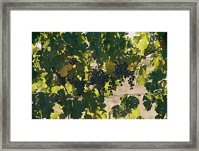 Clusters Of Grapes Hanging From Vines Framed Print by Michael S. Lewis