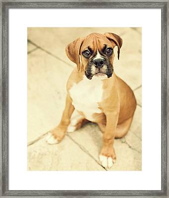 Clyde- Fawn Boxer Puppy Framed Print by Jody Trappe Photography