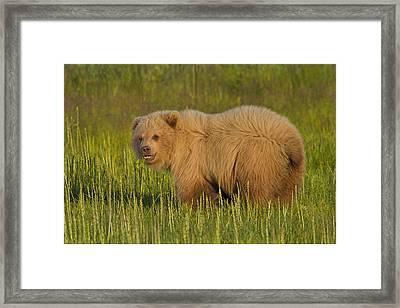 Coastal Brown Bear Framed Print by David DesRochers