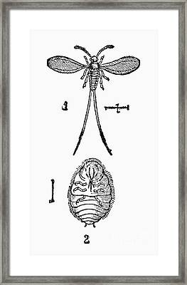 Cochineal Insect Framed Print by Granger