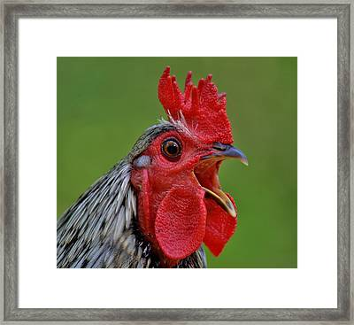 Cock A Doodle Doo Framed Print by Paulette Thomas
