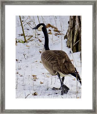 Cold Footed Goose On The Loose Framed Print by LeeAnn McLaneGoetz McLaneGoetzStudioLLCcom