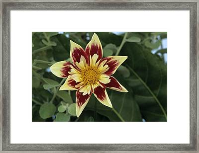 Collerette Dahlia Framed Print by Archie Young