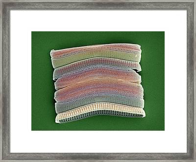 Colonial Diatom, Sem Framed Print by Steve Gschmeissner
