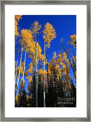 Colorado Aspen Framed Print by Dana Kern