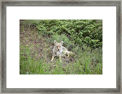 Colorado Coyote Framed Print by Jenna Szerlag