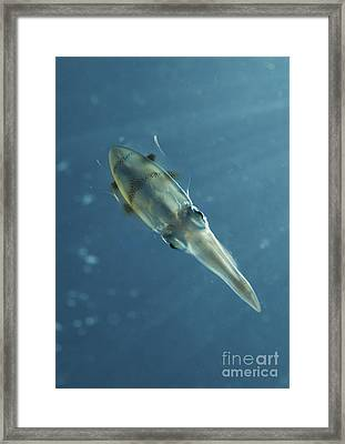 Colourful Squid, North Sulawesi Framed Print by Mathieu Meur