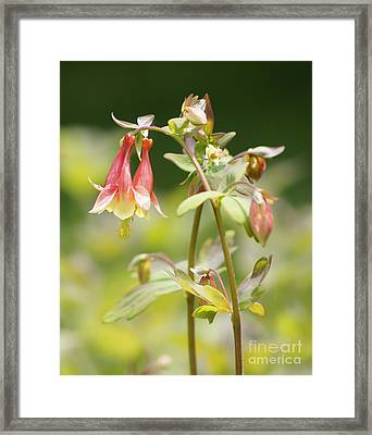 Columbine Framed Print by Robert E Alter Reflections of Infinity