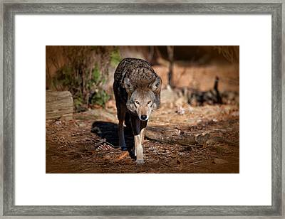 Coming Right At You Framed Print by Karol Livote