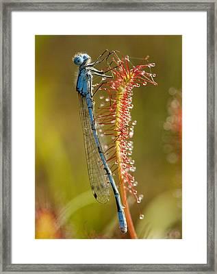 Common Blue Damselfly On A Sundew Leaf Framed Print by Bob Gibbons
