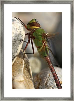 Common Green Darner Dragonfly Framed Print by Juergen Roth