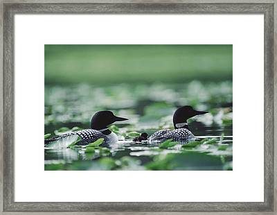 Common Loon Gavia Immer Mated Couple Framed Print by Michael Quinton