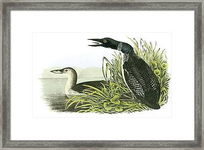 Common Loon Framed Print by John James Audubon