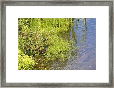 Common Moorhen At The Waters Edge Framed Print by Roena King