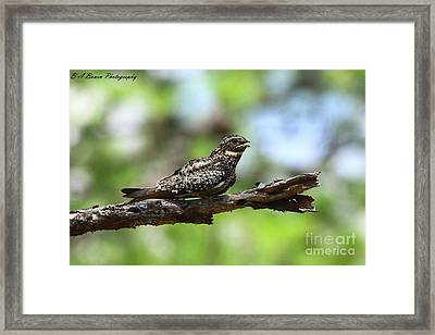 Common Night Hawk Framed Print by Barbara Bowen