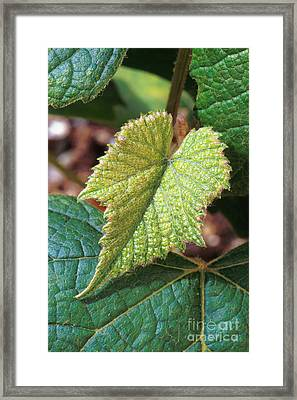 Concord Grape Plant Framed Print by Science Source