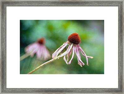Cone Flower Framed Print by Marcio Faustino