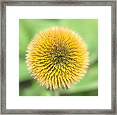 Coneflower Framed Print by Photo by Ted Bobosh