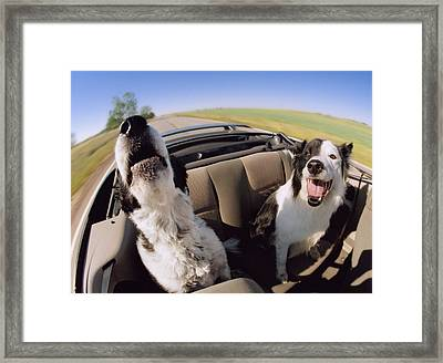 Convertible Dogs Framed Print by Darwin Wiggett