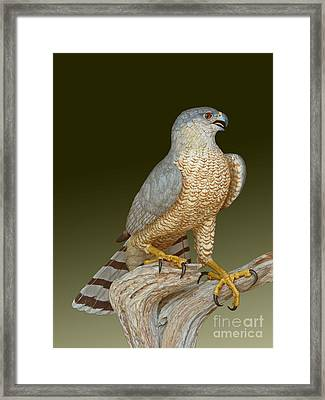 Cooper's Hawk Framed Print by David Tabor