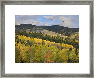 Coopers Hawk Flying Over Quaking Aspen Framed Print by Tim Fitzharris