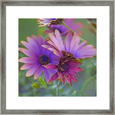 Copper Daisies 1 Framed Print by Bonnie Bruno