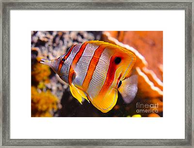 Copperband Butterfly Fish Framed Print by Pravine Chester