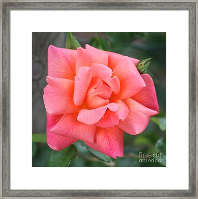 Coral Paris Rose Square Framed Print by Carol Groenen