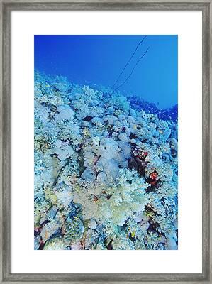 Coral Reef Framed Print by Alexis Rosenfeld