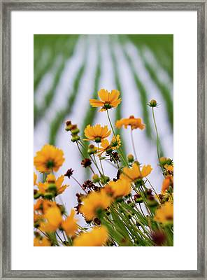 Coreopsis Lanceolata In Front Of Rice Field Framed Print by Glittering star. A whisper of trees. The noise of the town.