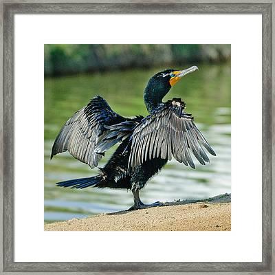 Cormorant 7  Wilderness Lakes Framed Print by Bob and Nadine Johnston