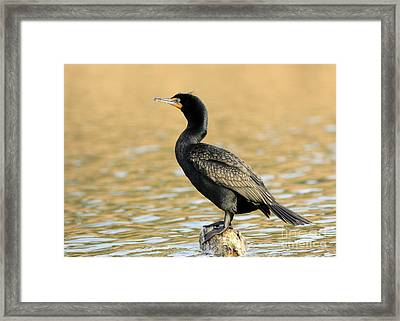 Cormorant At Sunset Framed Print by Inspired Nature Photography Fine Art Photography