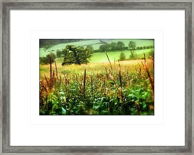 Corn Field Framed Print by Mal Bray