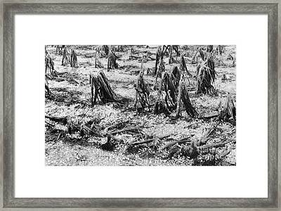 Cornfield After Hailstorm Framed Print by Science Source