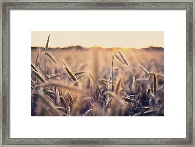 Cornfield Framed Print by by Christopher Wesser - www.sandbox-photos.com