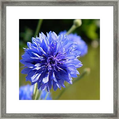 Cornflower Blue Framed Print by Sharon Lisa Clarke