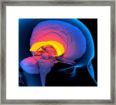 Corpus Callosum In The Brain, Artwork Framed Print by Roger Harris