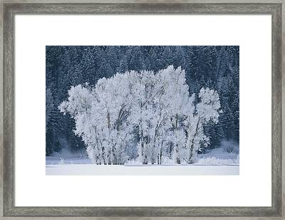 Cottonwood Trees With Frost Framed Print by Skip Brown