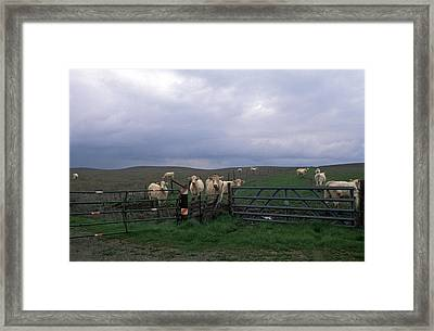 Cow Convergence Framed Print by Kathy Yates