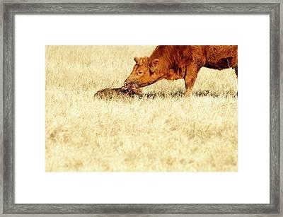 Cow Smelling Newborn Calf Framed Print by ©Debbie Prediger Photography