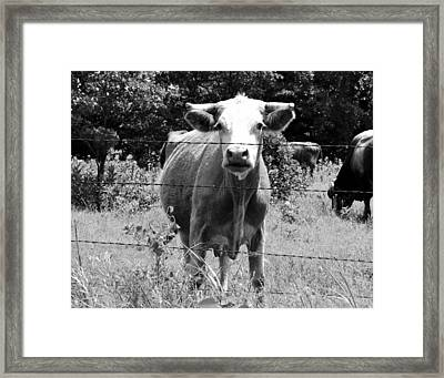 Cow Time Framed Print by Sharon Farris